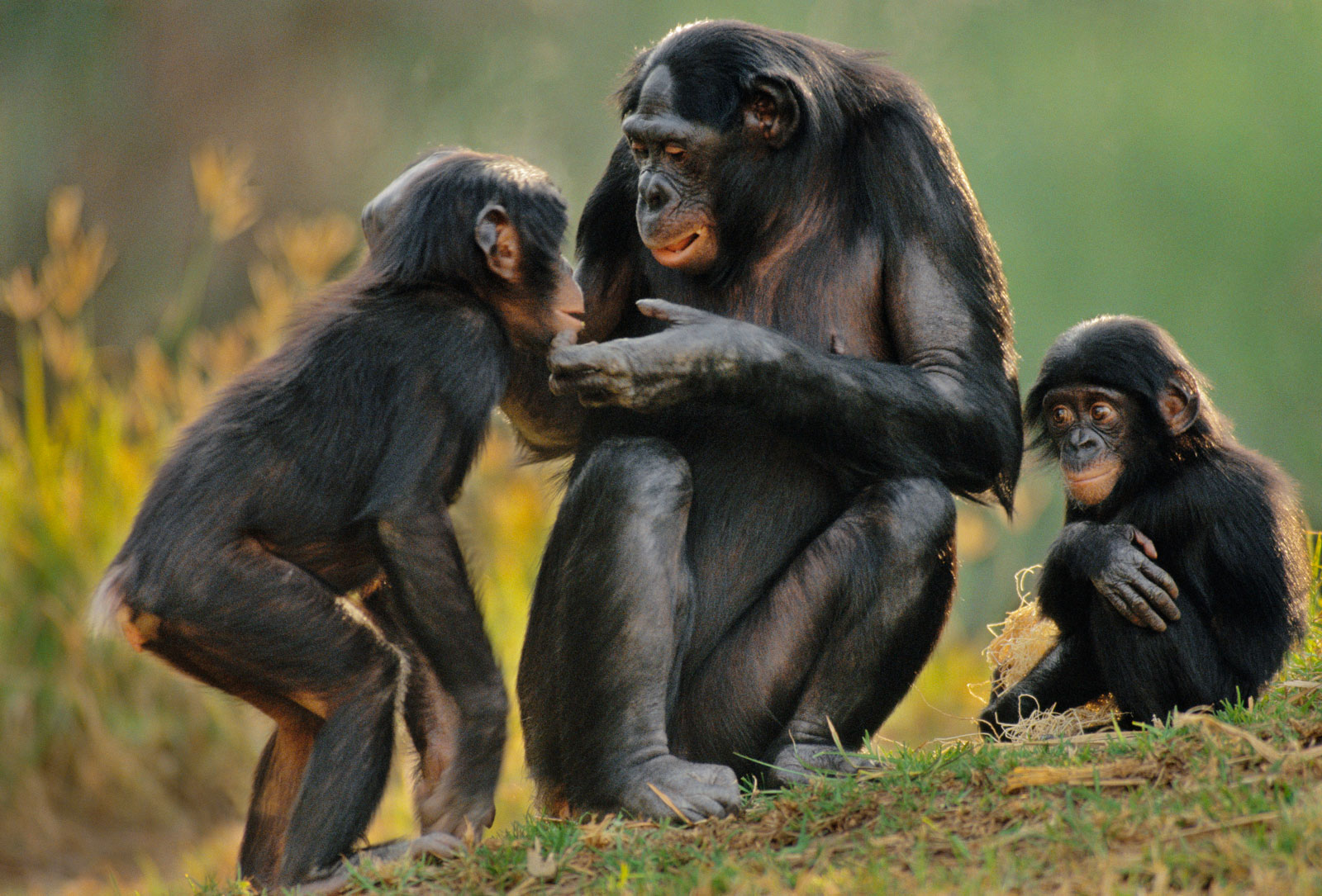 Bonobo female sharing food with infants, native to Congo (DRC)