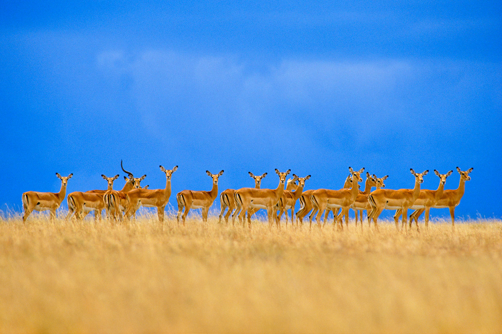 Impalas alarmed, Serengeti National Park, Tanzania