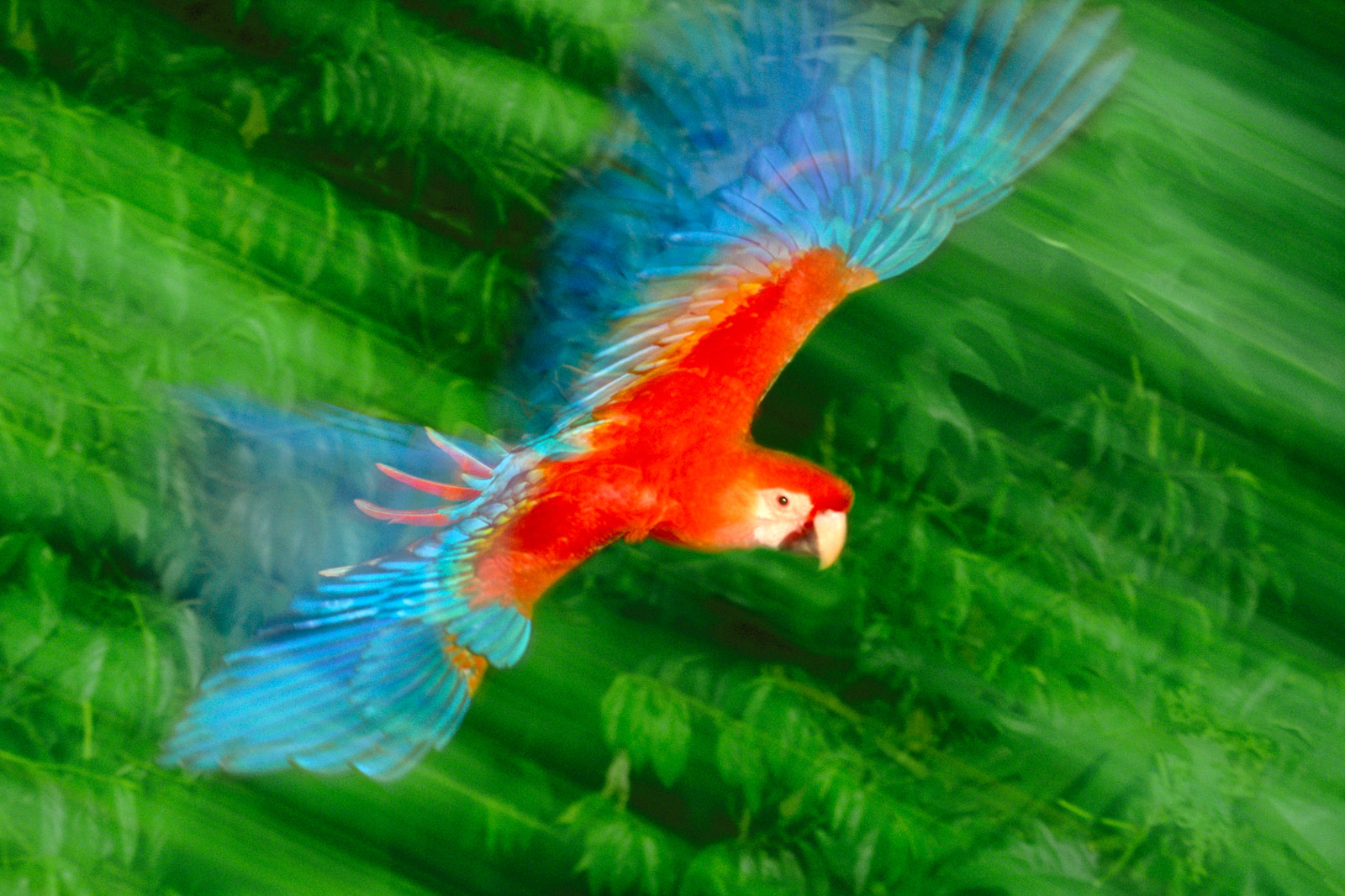 Scarlet macaw in flight, Tambopata National Reserve, Peru