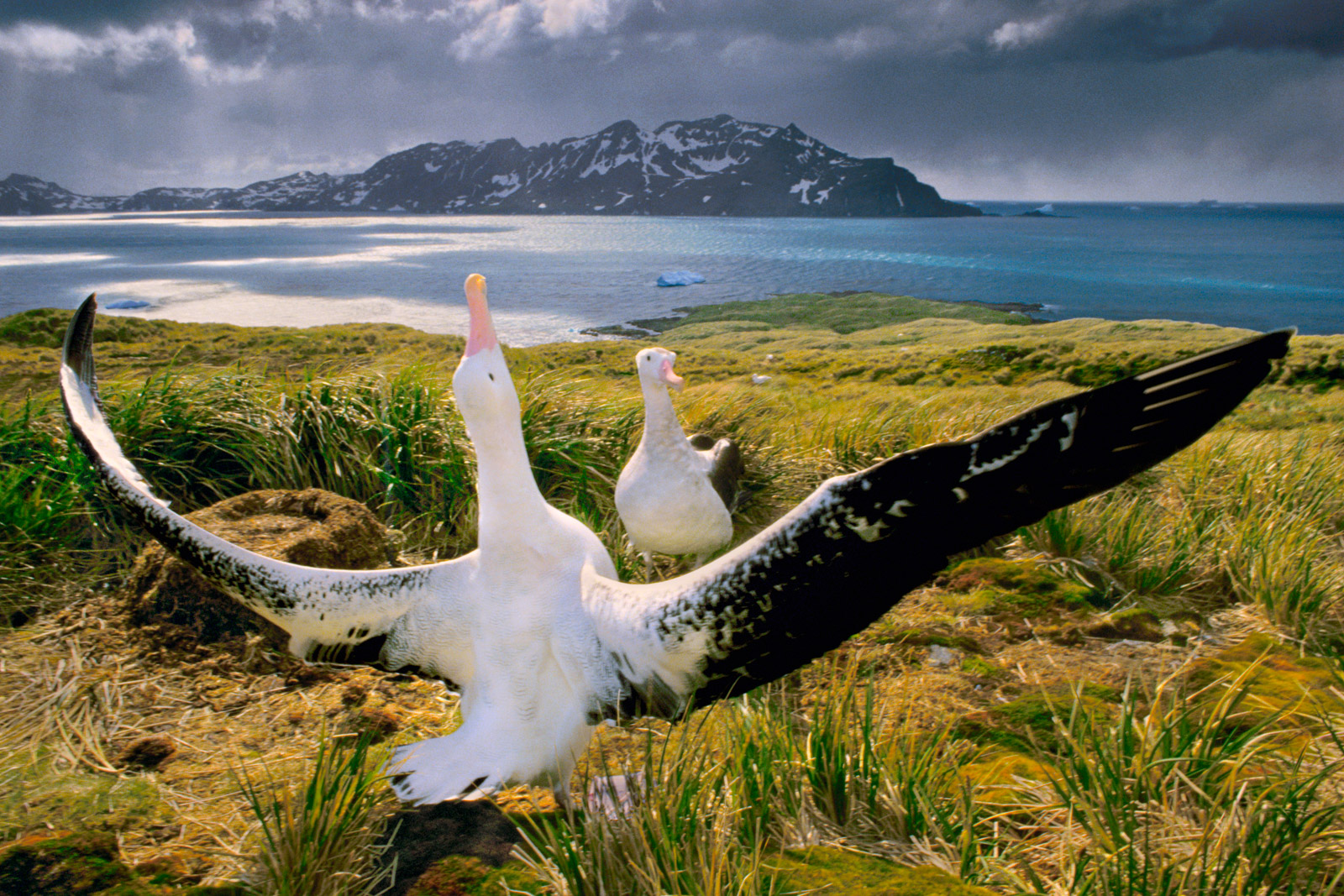 Wandering albatrosses courting, South Georgia Island
