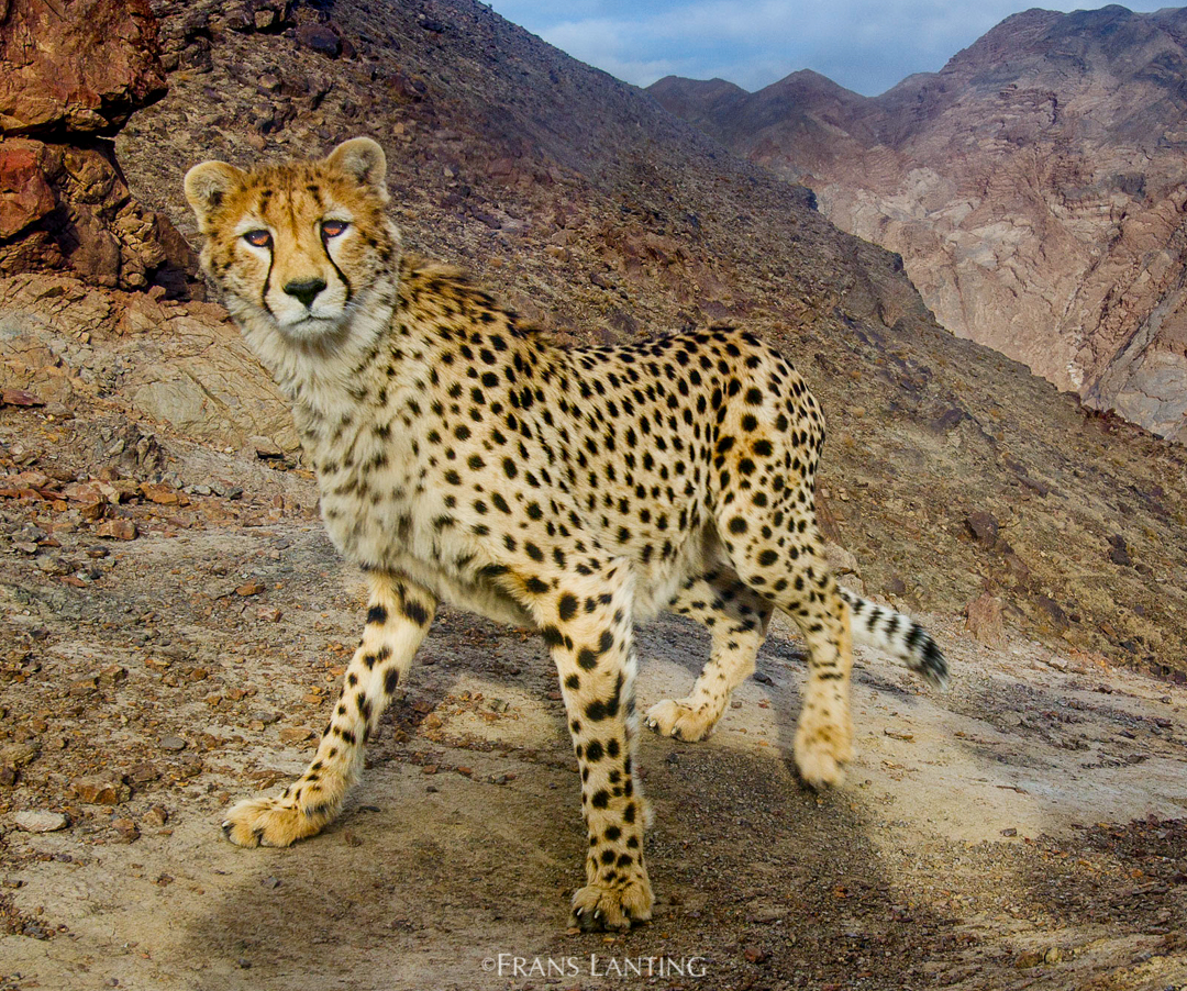 Asiatic cheetah, Iran