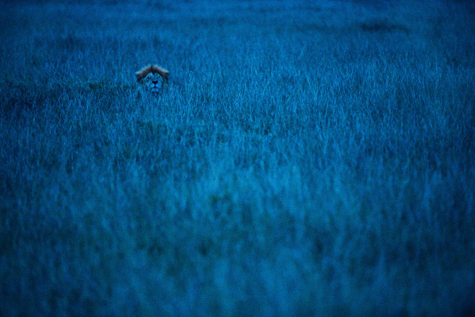 Lion at twilight, Masai Mara Reserve, Kenya