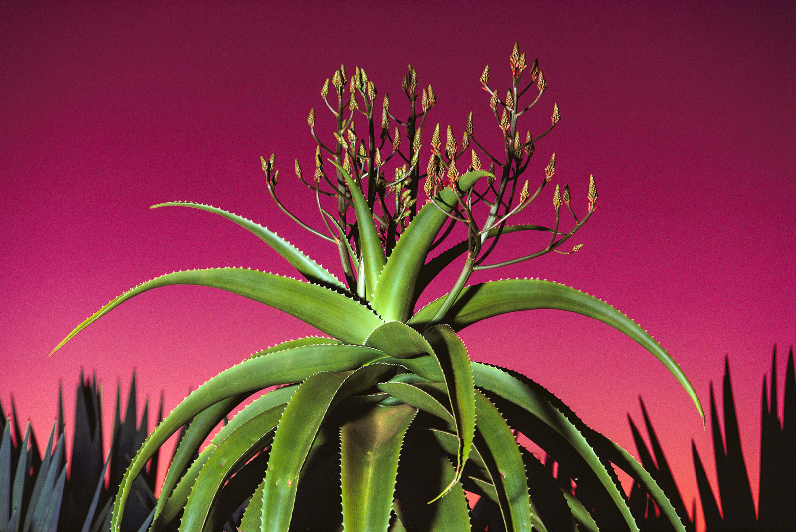 Aloe in bloom, Southern Madagascar