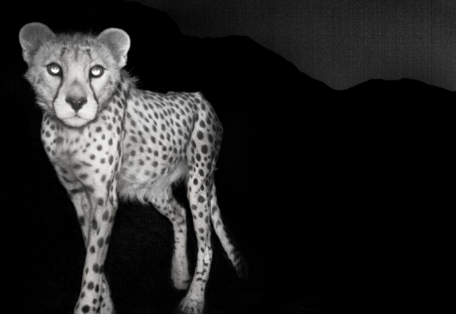 Asiatic cheetah caught by camera trap, Naybandan Wildlife Reserve, Iran