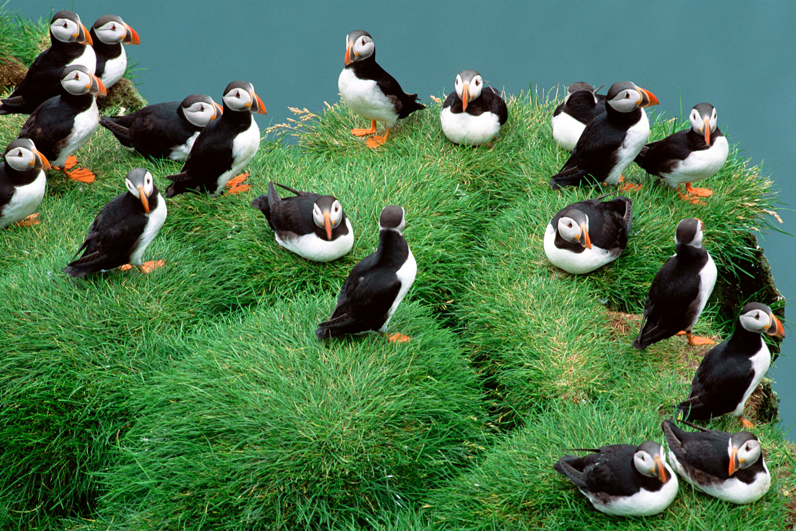 Atlantic puffins on grassy cliff, Iceland