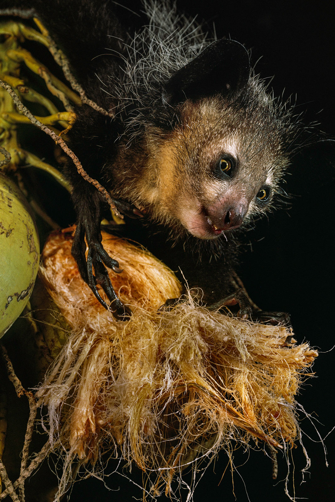 Aye-aye feeding on coconut, Madagascar