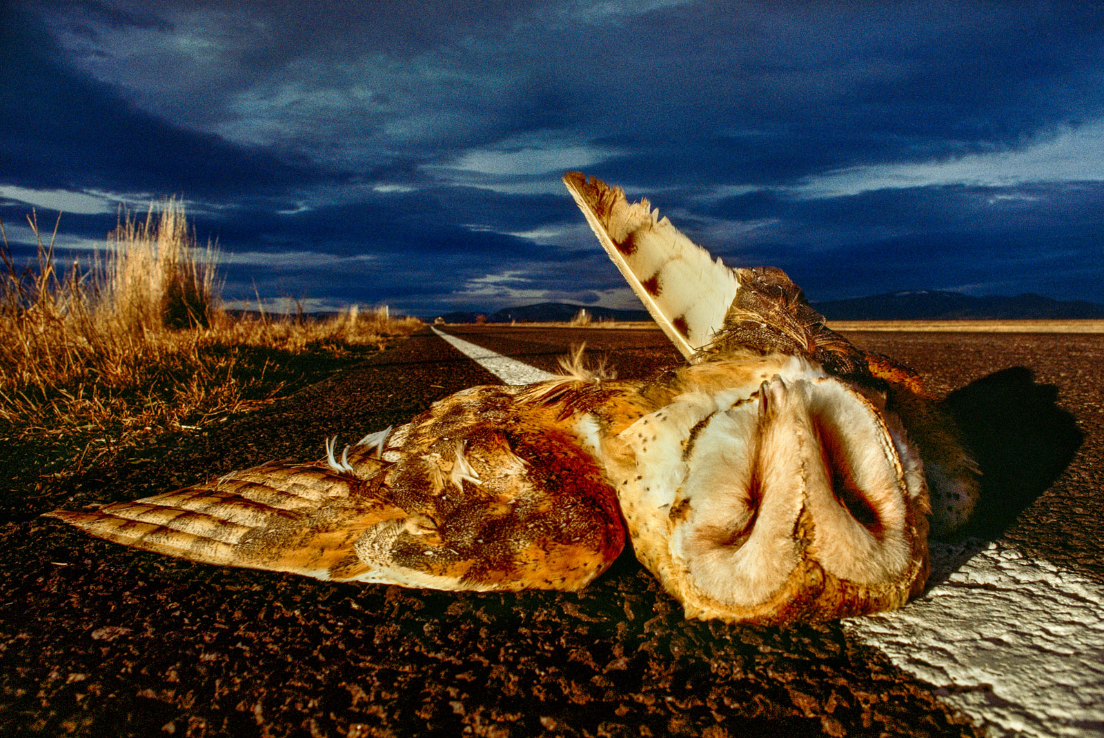 Barn owl dead after car collision, Klamath Basin National Wildlife Refuge, California, USA