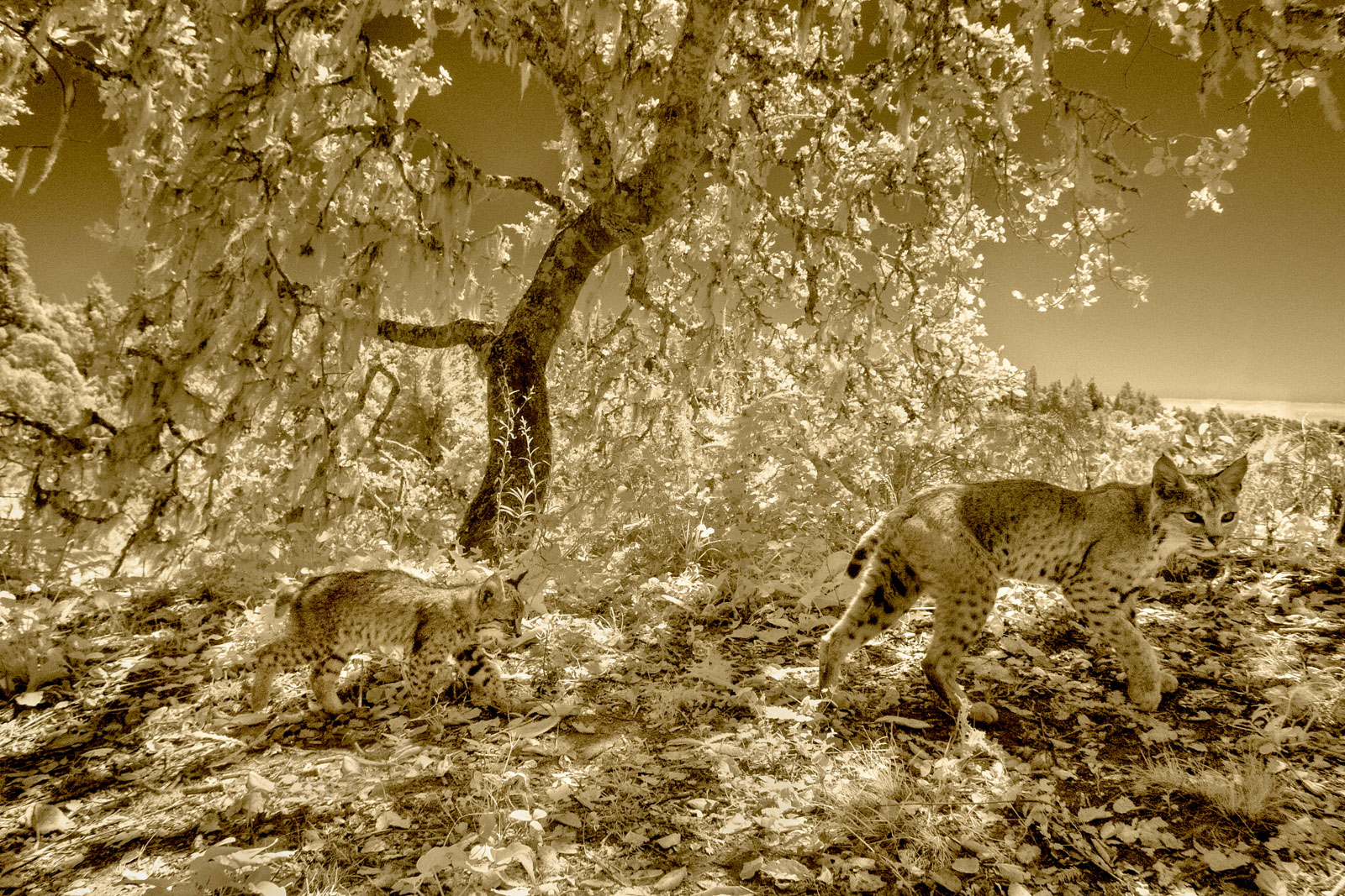 Bobcat and kitten caught by camera trap, Majors Canyon, Monterey Bay, California, USA