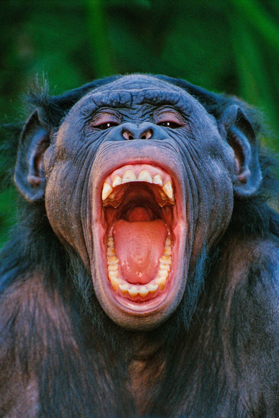 Bonobo grimacing, native to Congo (DRC)
