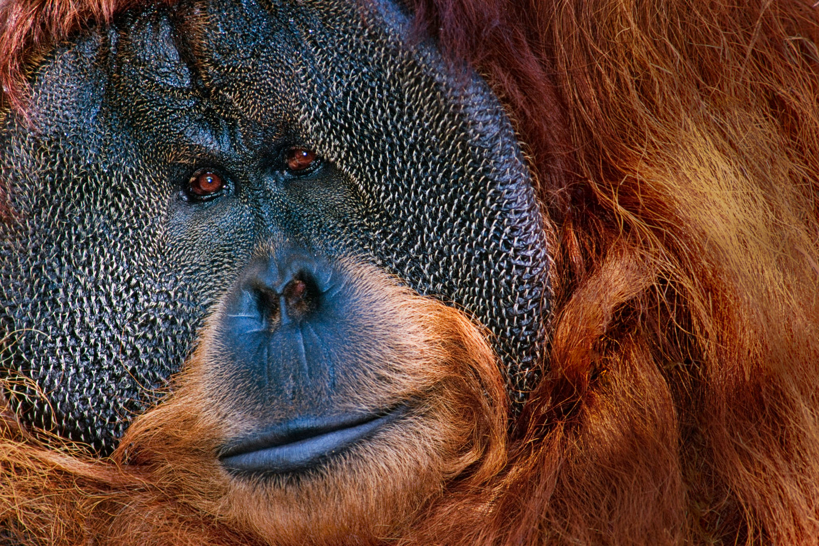 Bornean orangutan, native to Borneo