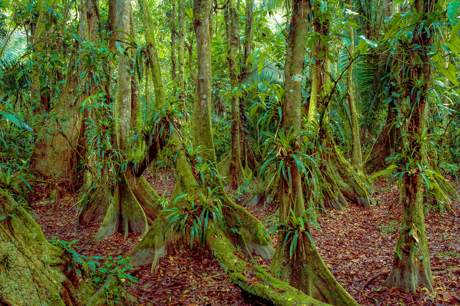 Buttressed trees, Cockscomb Basin Wildlife Sanctuary, Belize