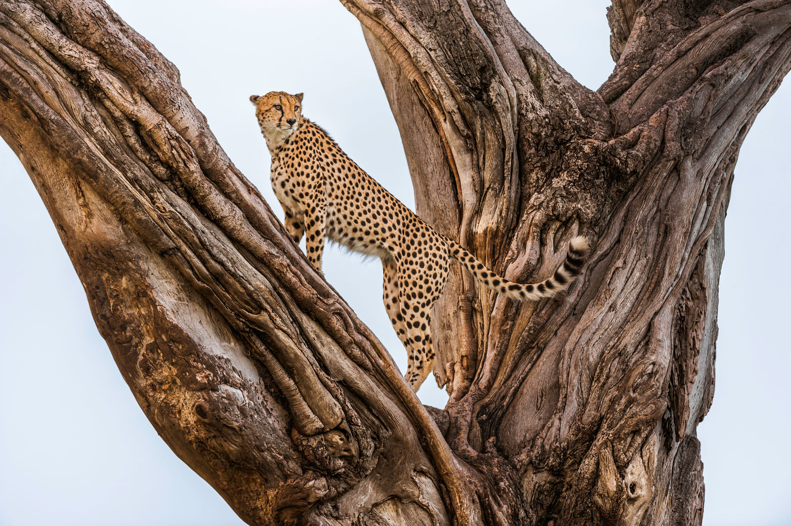 Cheetah male in fig tree, Masai Mara National Reserve, Kenya