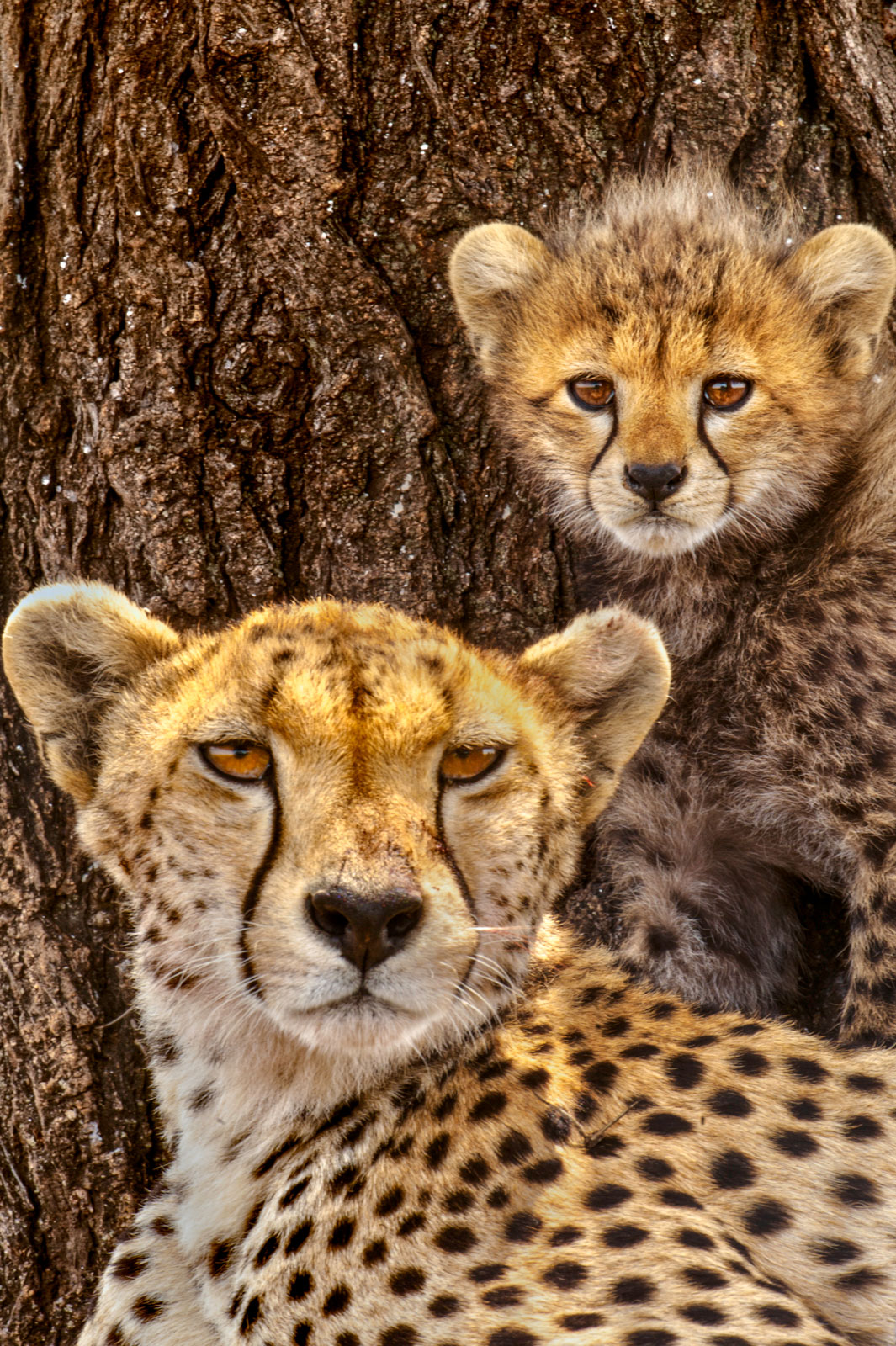 Cheetah mother with cub named Almond, Serengeti National Park, Tanzania