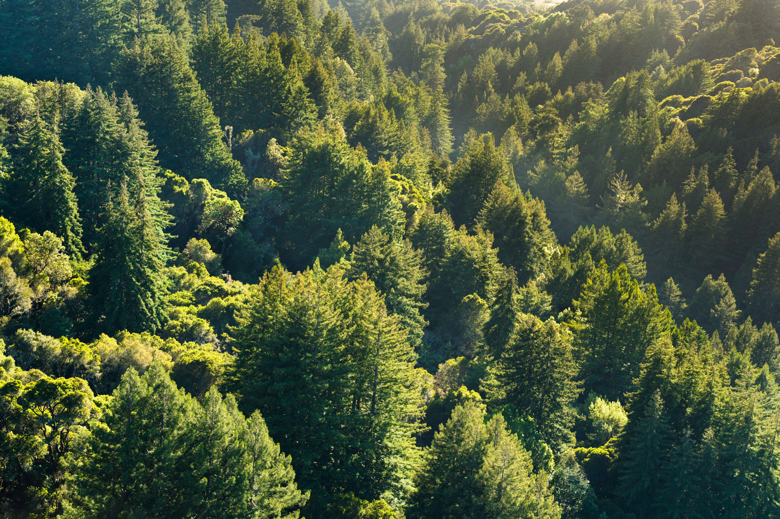 Mixed coniferous and deciduous forest, Monterey Bay, California, USA