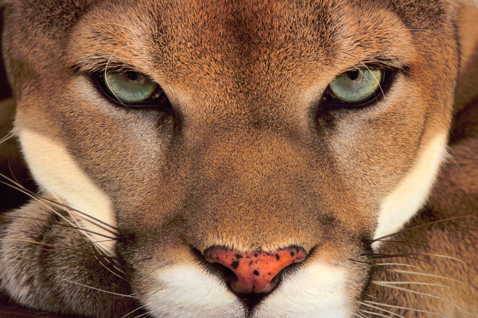 Cougar male, Belize