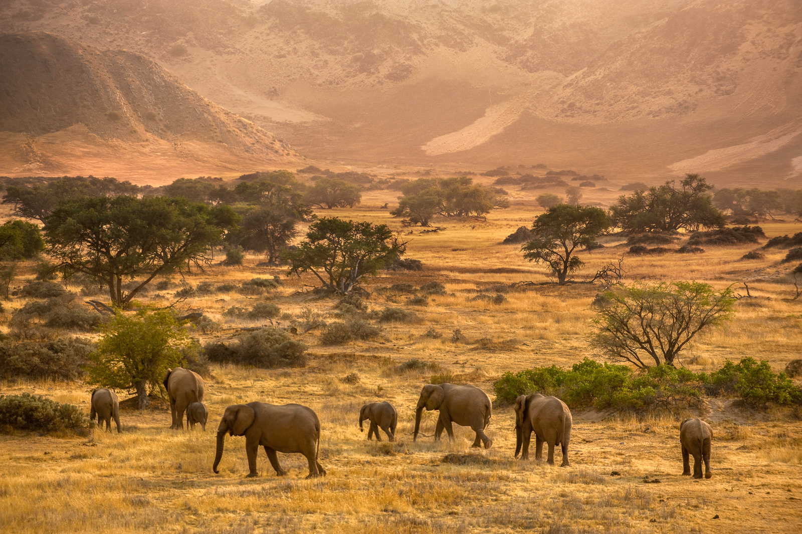 Desert elephants, Huab River, Torra Conservancy, Damaraland, Namibia