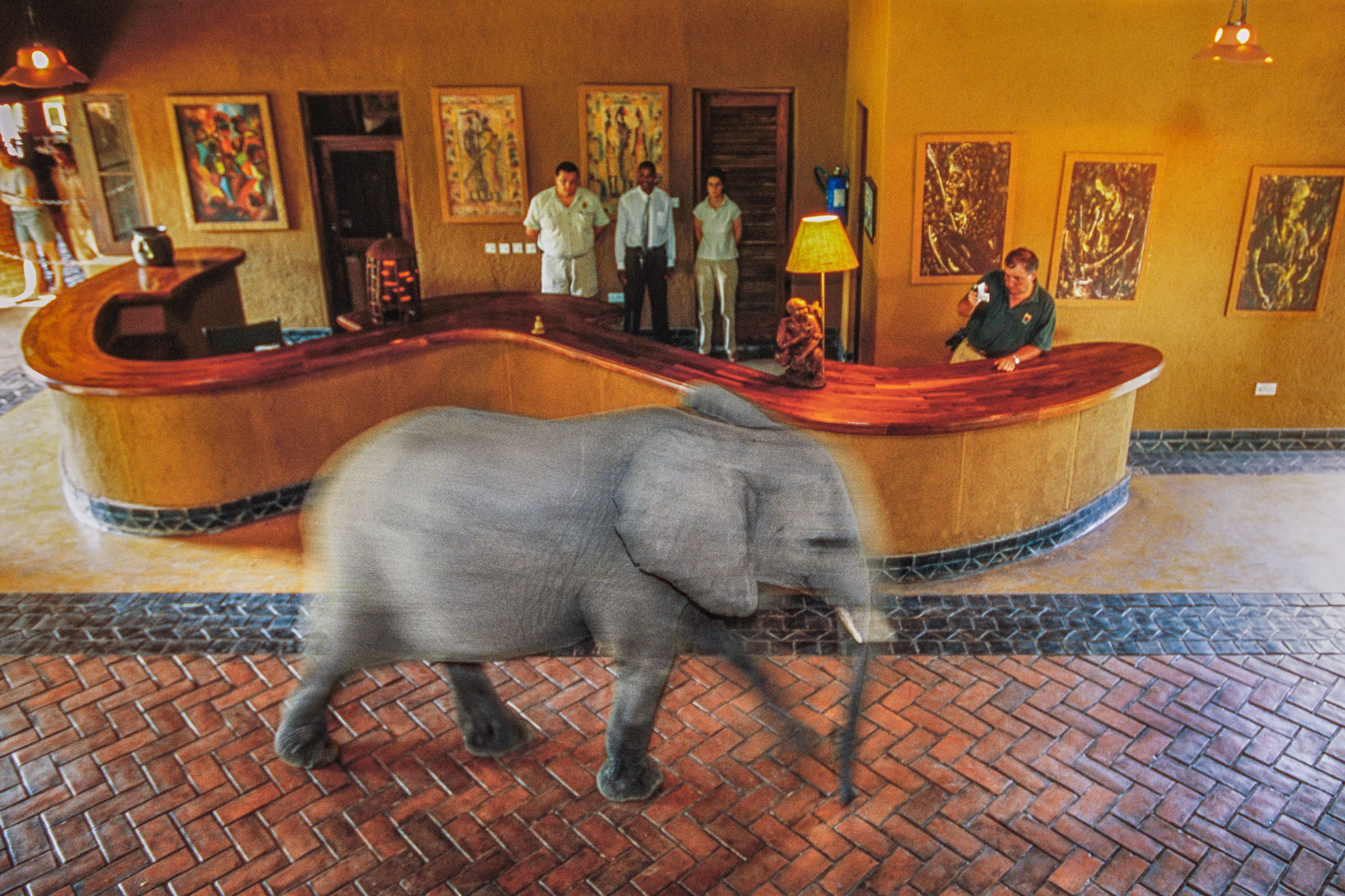 Elephant walking through lobby to its favorite mango tree, Luangwa Valley Lodge, Zambia