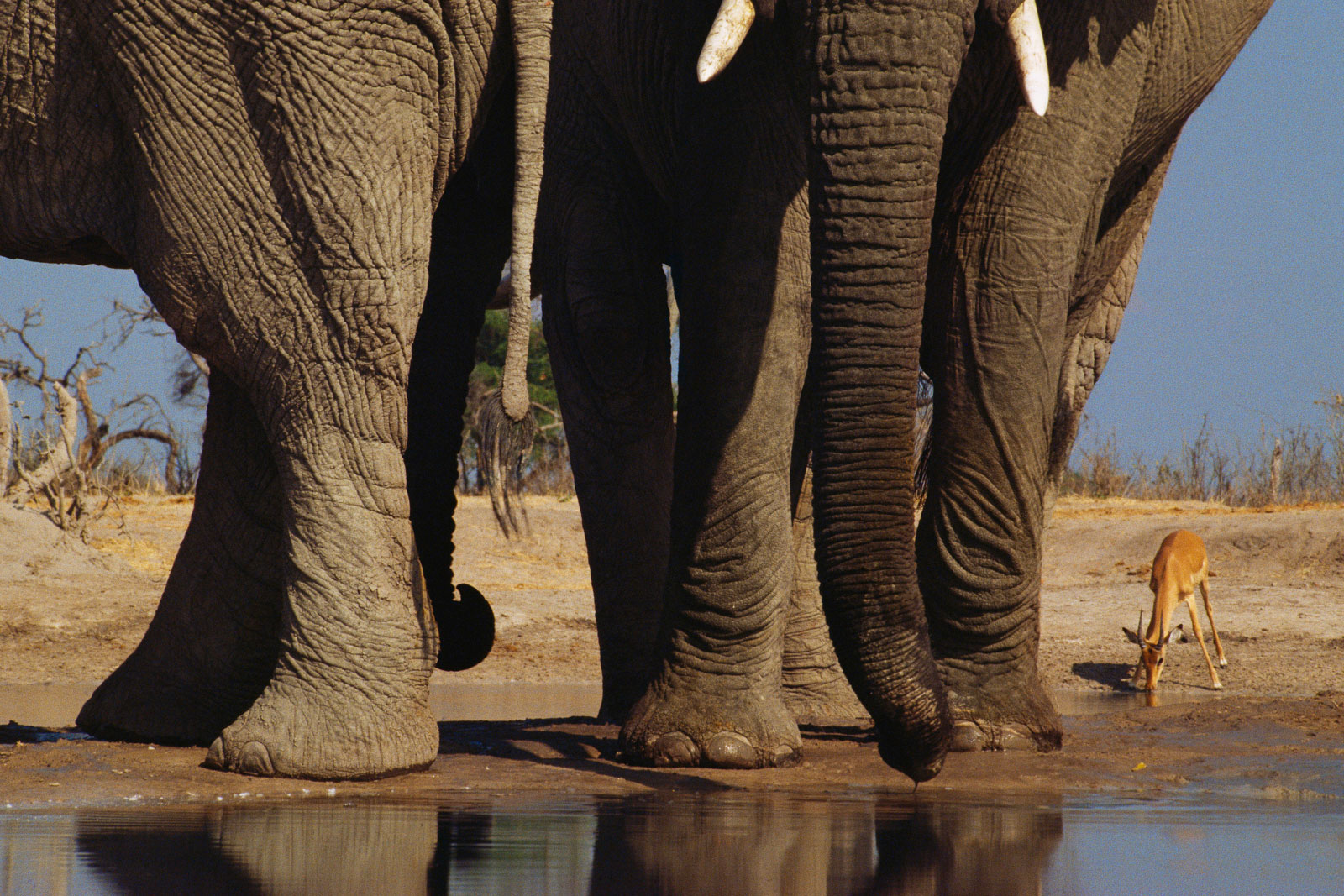 African elephants and impala, Chobe National Park, Botswana