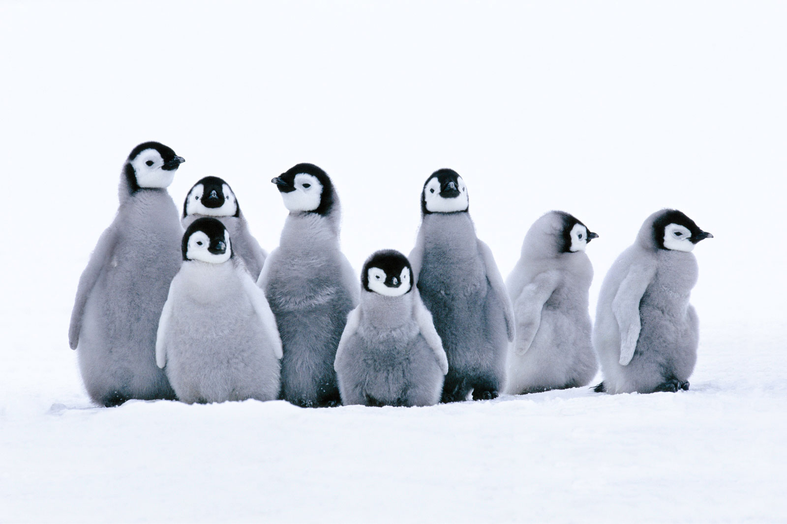 Emperor penguin chicks, Weddell Sea, Antarctica