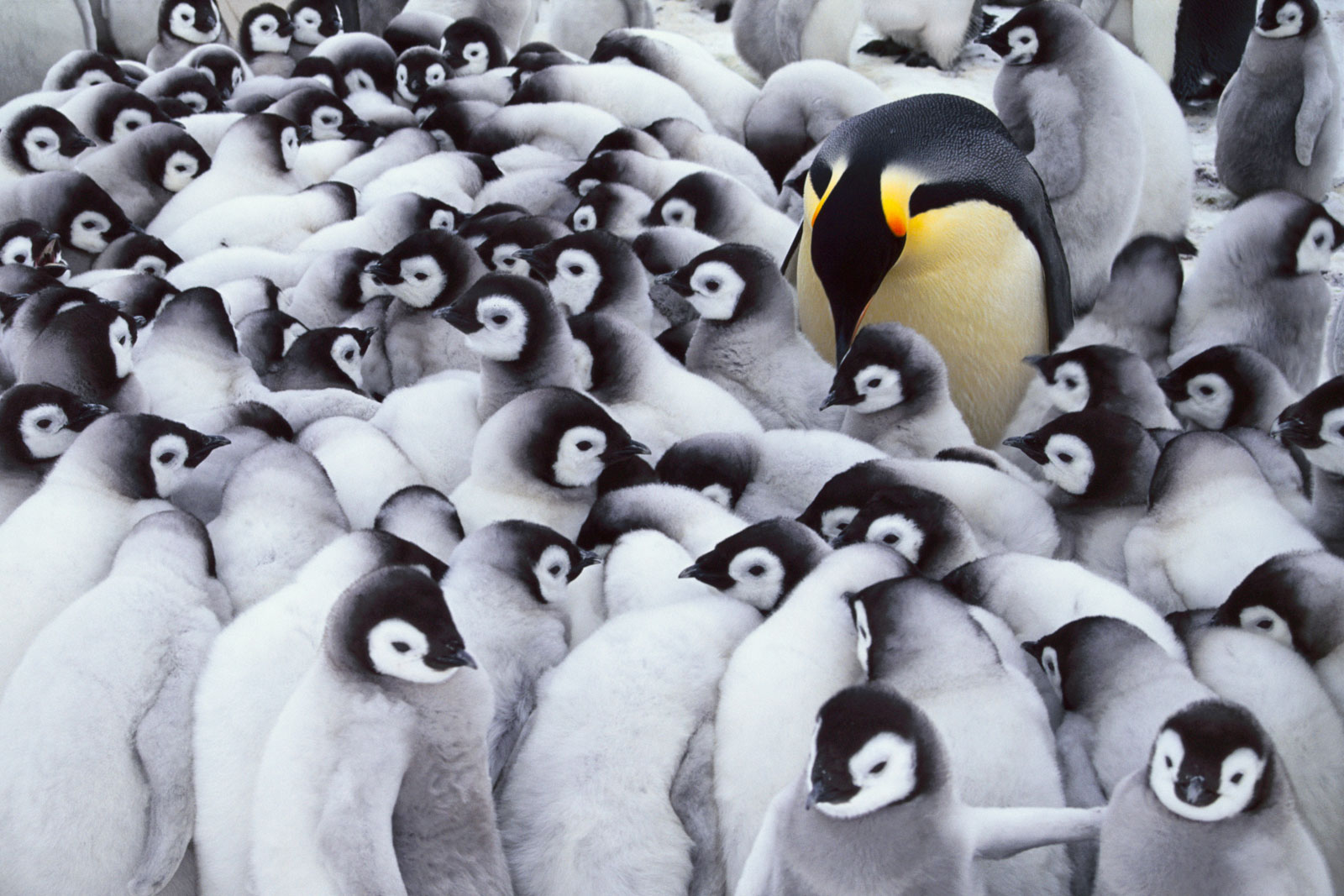 Emperor penguin parent with chicks, Antarctica