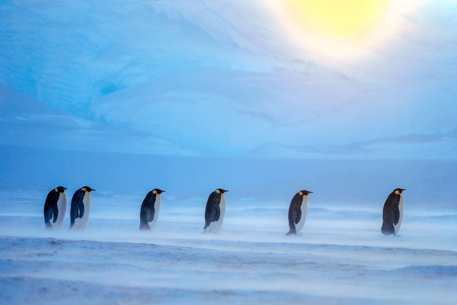 Emperor penguins in blizzard, Weddell sea, Antarctica