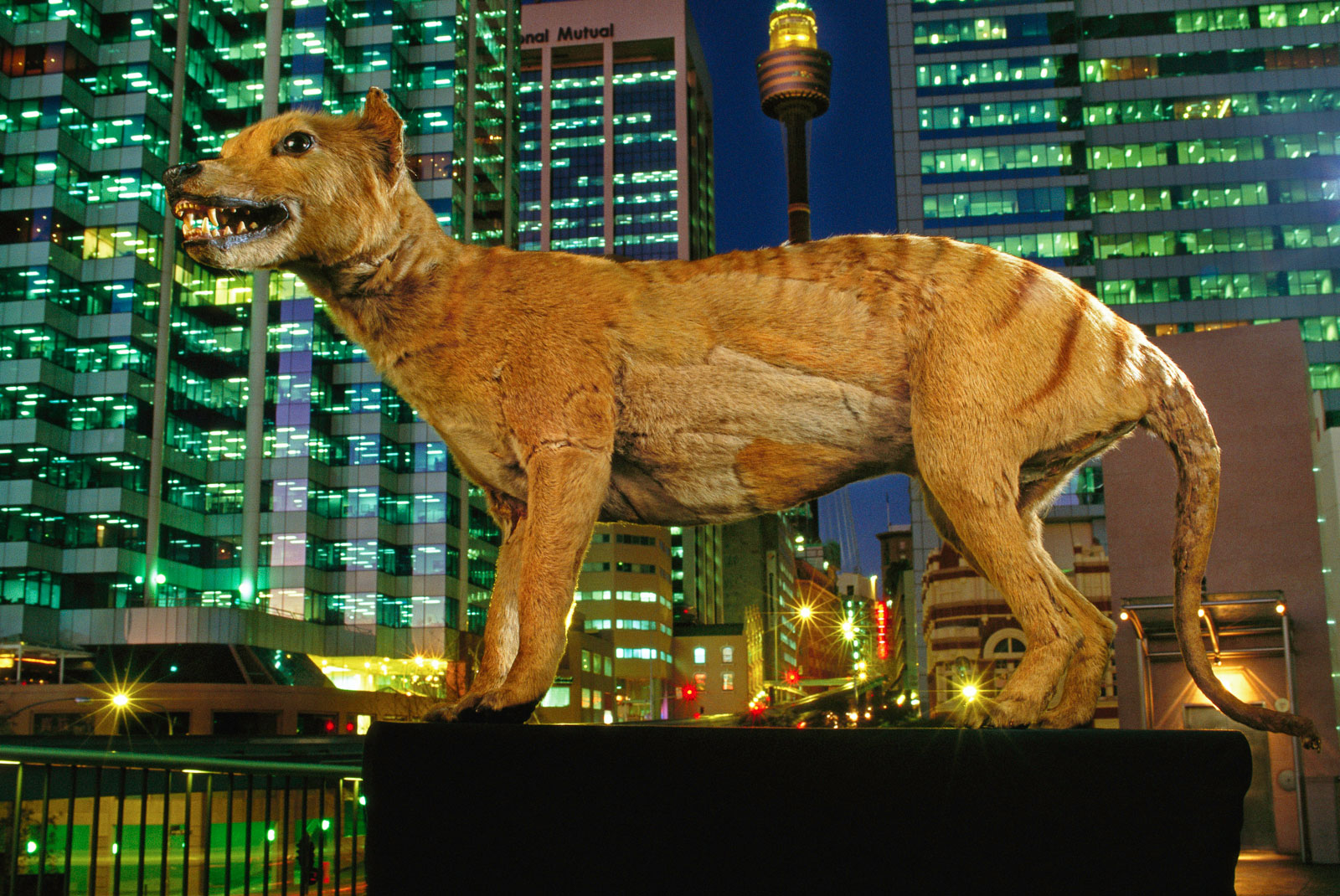 Extinct tasmanian wolf, Sydney, Australia