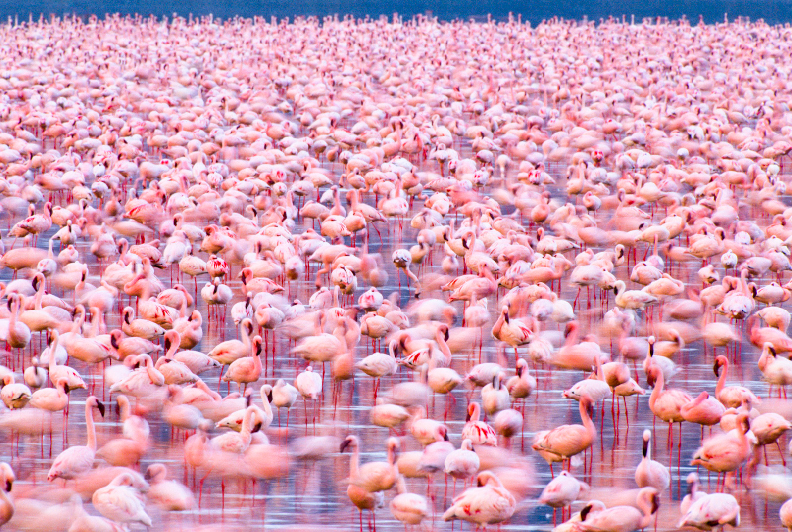 Lesser flamingos, Lake Nakuru National Park, Kenya