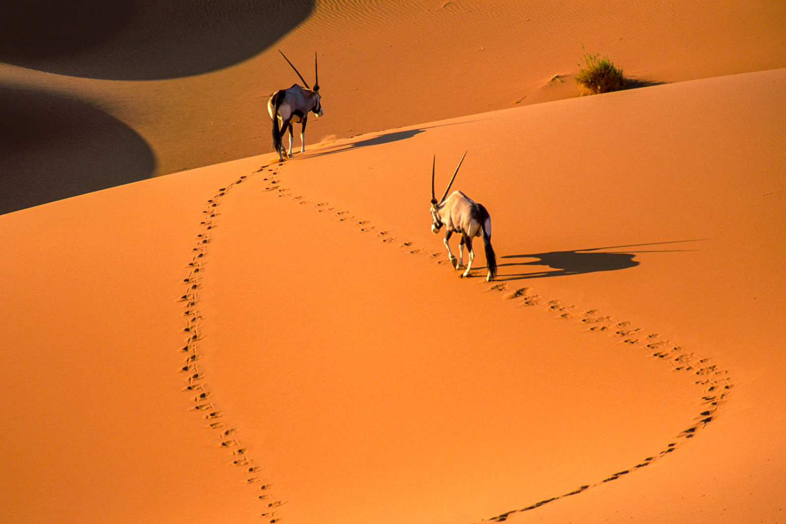 Gemsbok in sand dunes, Namib-Naukluft National Park, Namibia