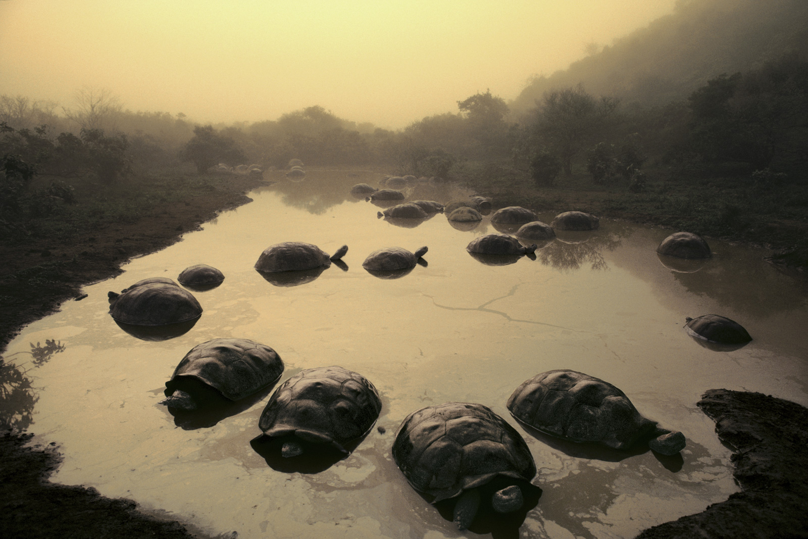 Giant tortoises in pond, Alcedo Volcano, Galapagos Islands