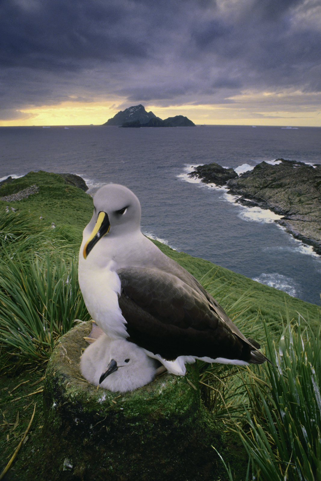 Gray-headed albatross chick, South Georgia Island