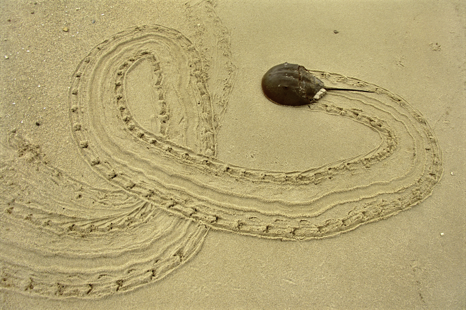 Horseshoe crab on beach, Delaware Bay, New Jersey, USA