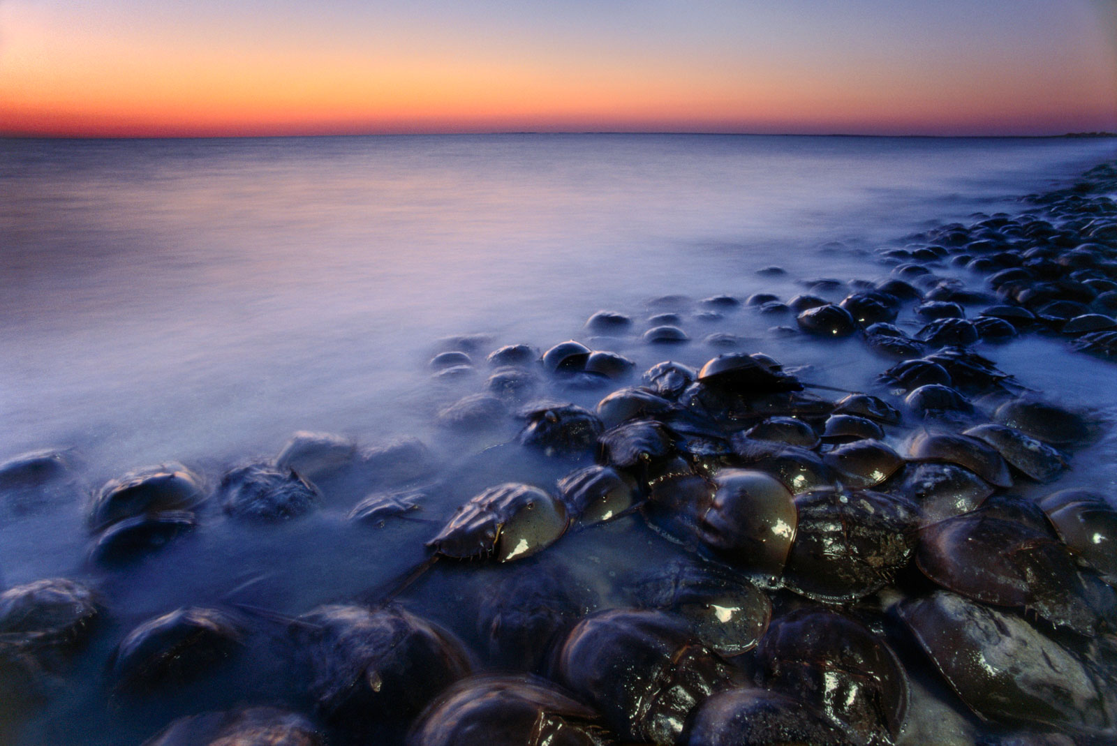 Horseshoe crabs spawning at dusk, Delaware Bay, New Jersey, USA