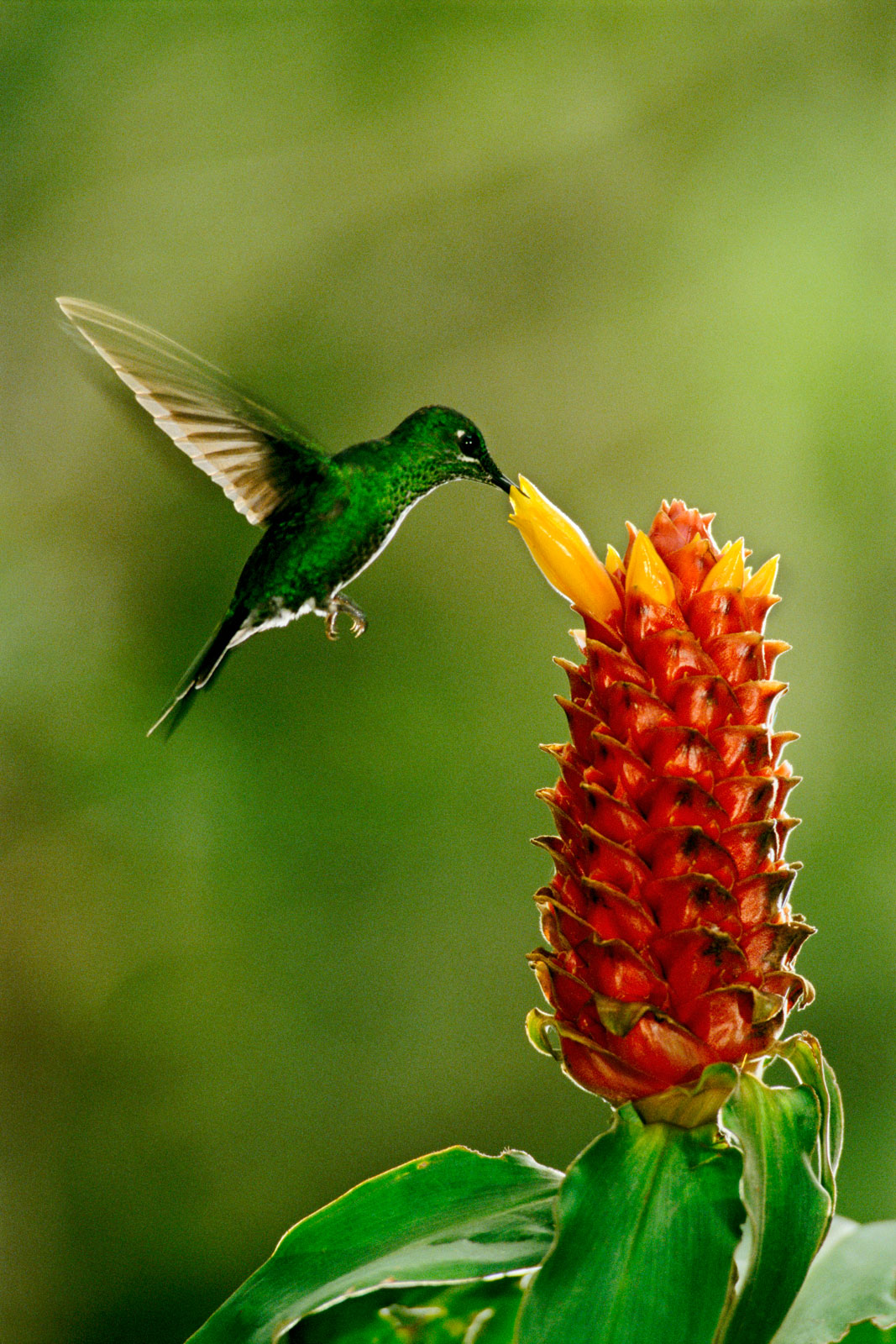 Green-crowned brilliant hummingbird feeding on ginger flower, Monteverde Cloud Forest Reserve, Costa Rica