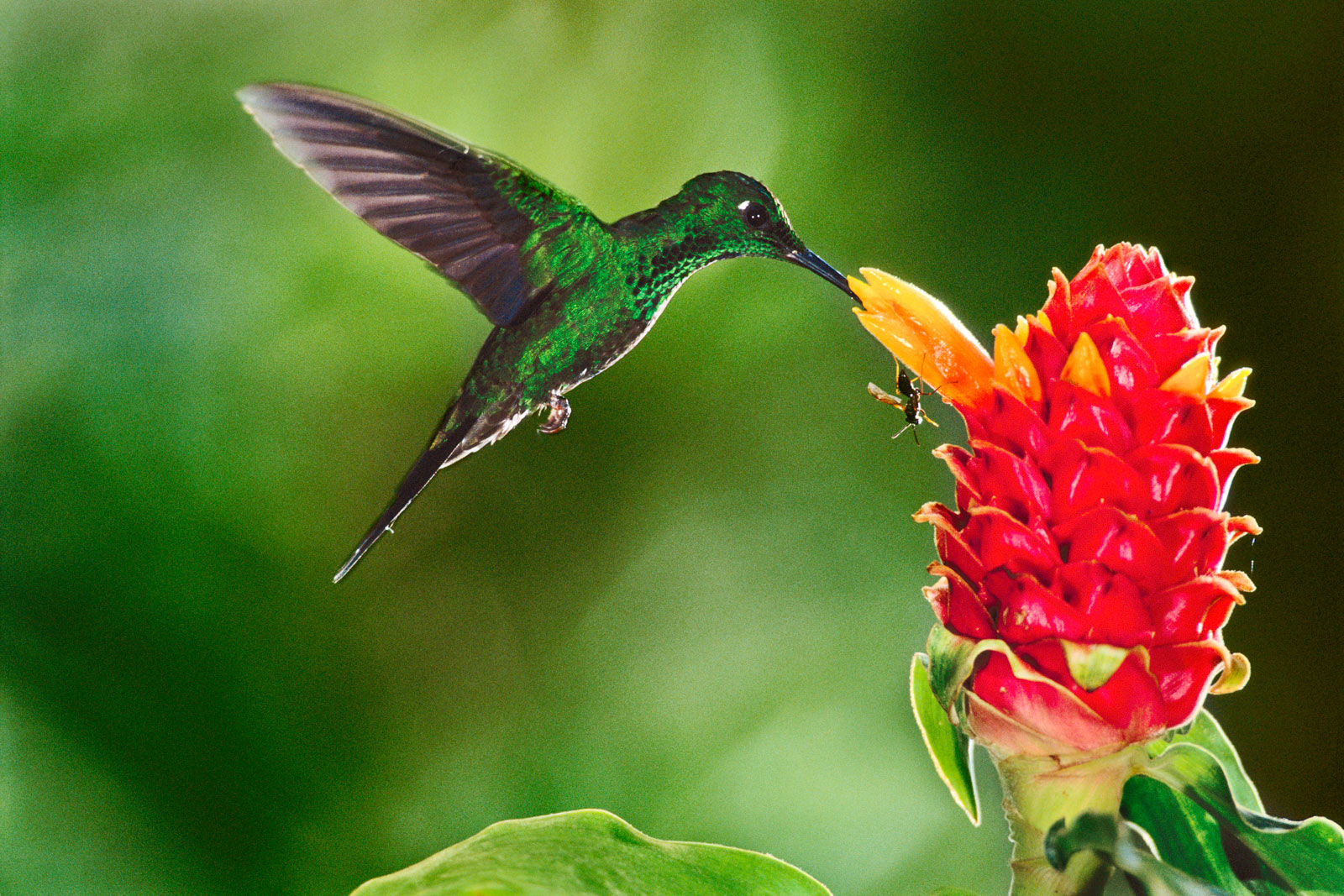 Green-crowned brilliant hummingbird feeding on ginger torch, Monteverde Cloud Forest Preserve, Costa Rica