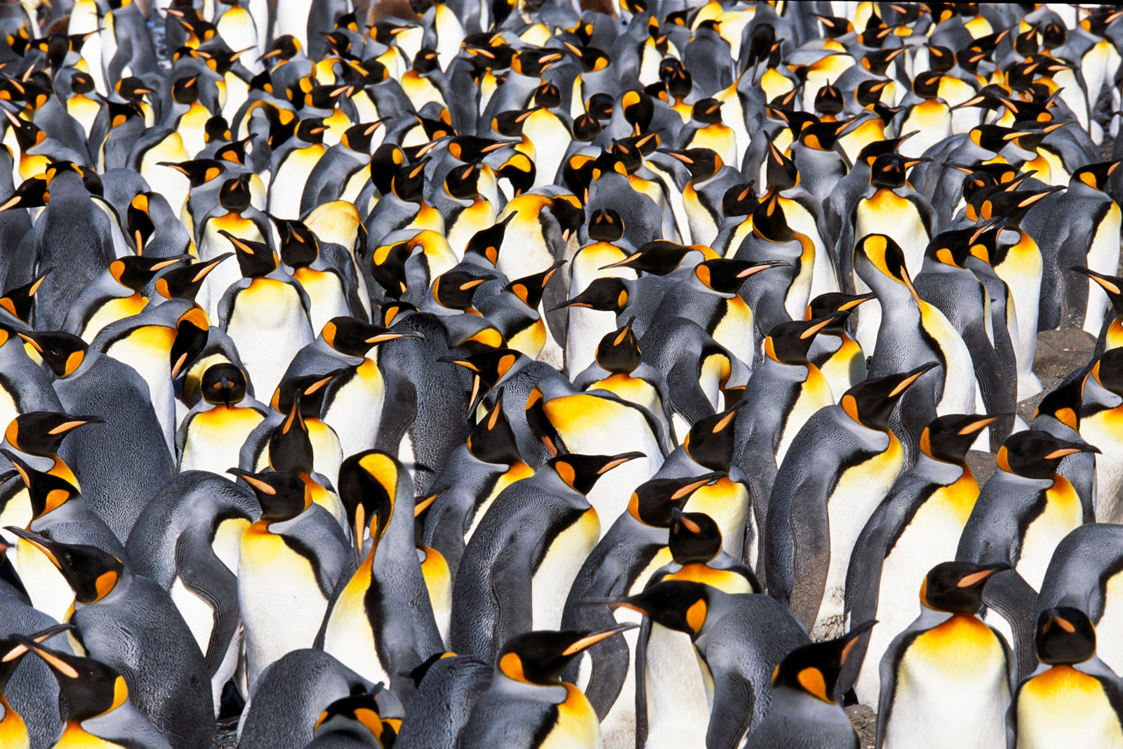 King penguin colony, South Georgia Island
