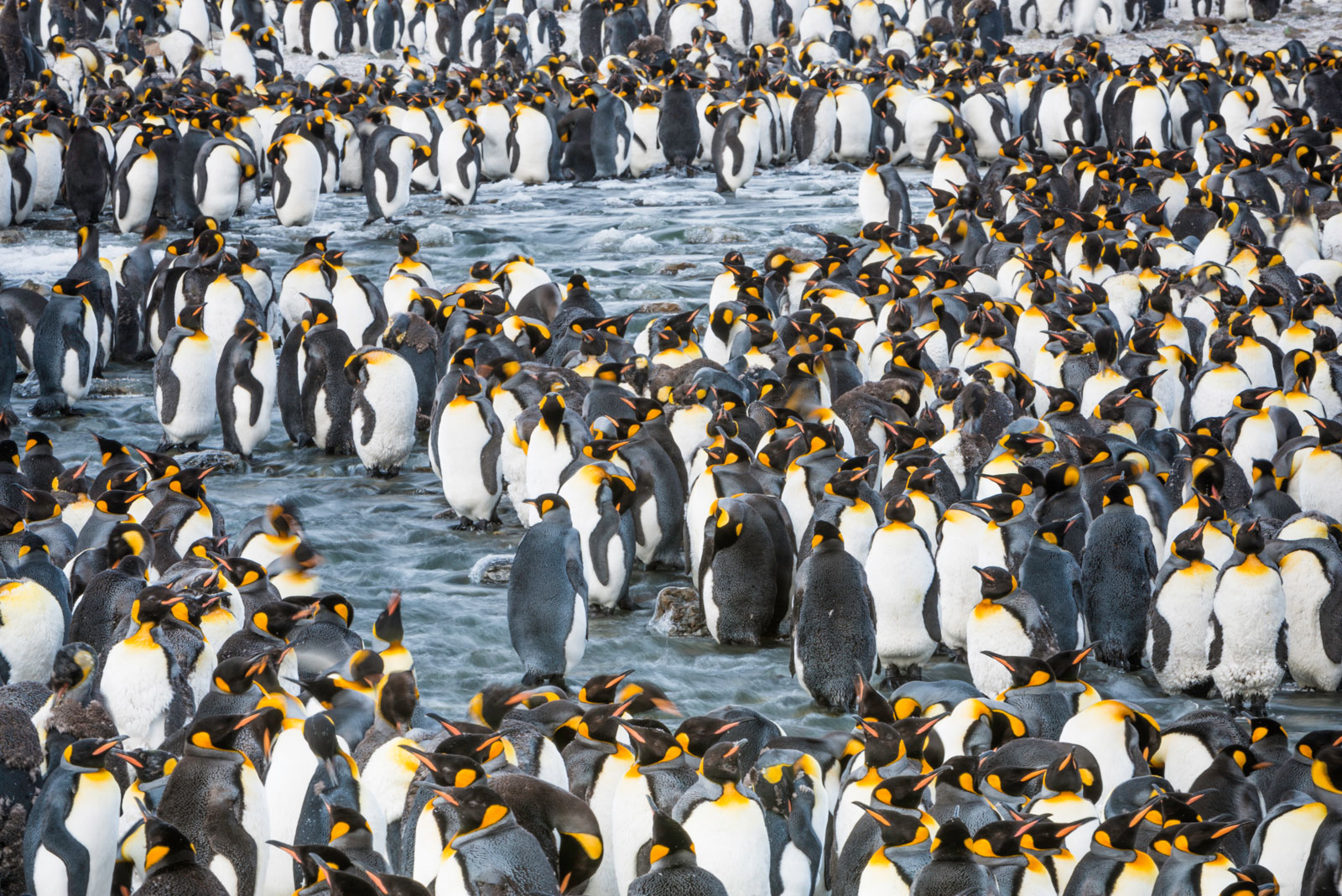 King Penguin colony, St. Andrews Bay, South Georgia Island, Antarctica