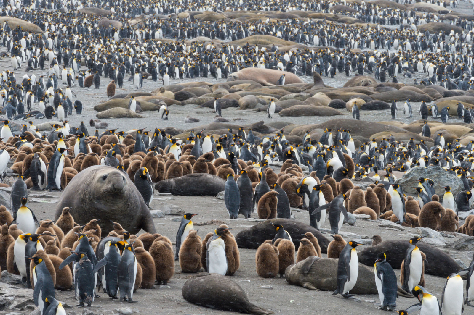 KIng penguins and Southern elephant seals, South Georgia Island