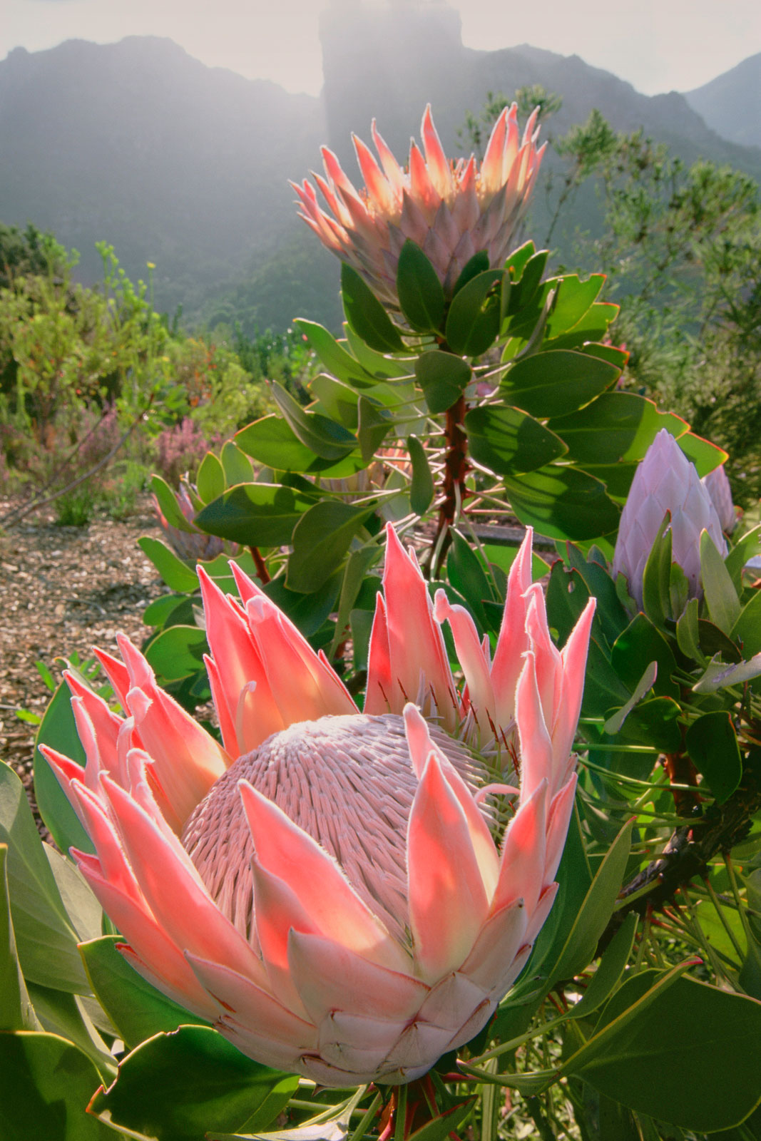 King protea, Kirstenbosch National Botanical Garden, Cape Town, South Africa