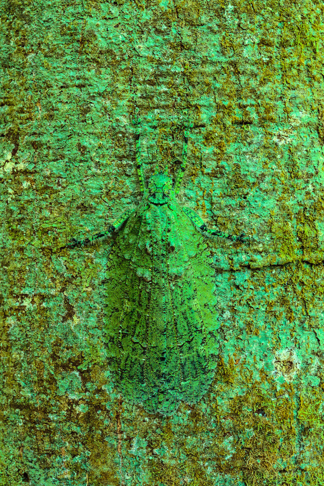 Lichen-mimic katydid camouflaged on tree, Sabah, Borneo