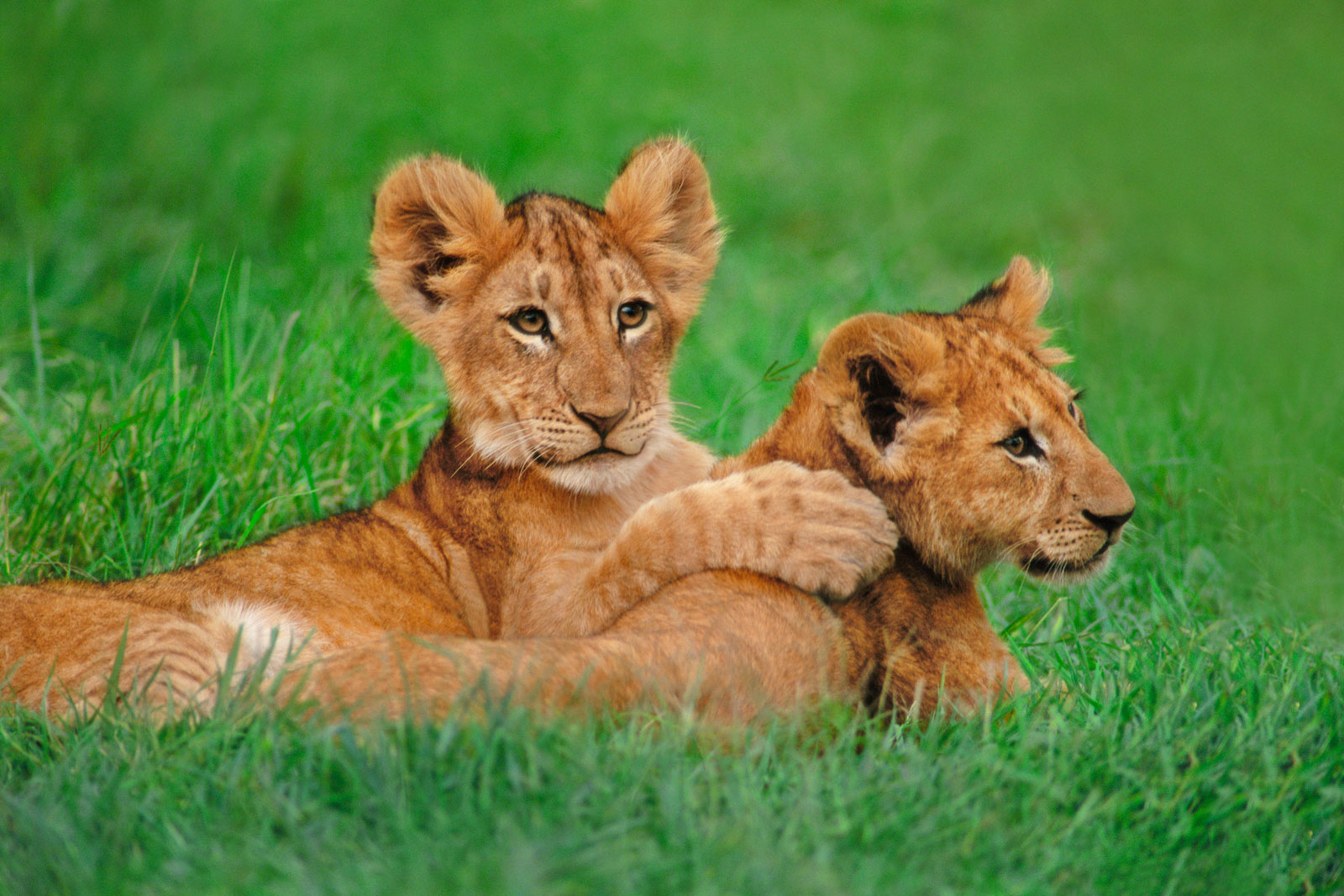Lion cubs playing, Masai Mara National Reserve, Kenya