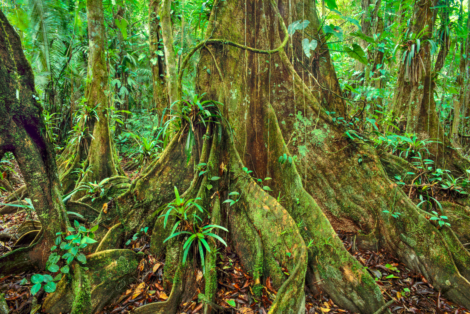 Lowland rainforest, Cockscomb Basin, Belize