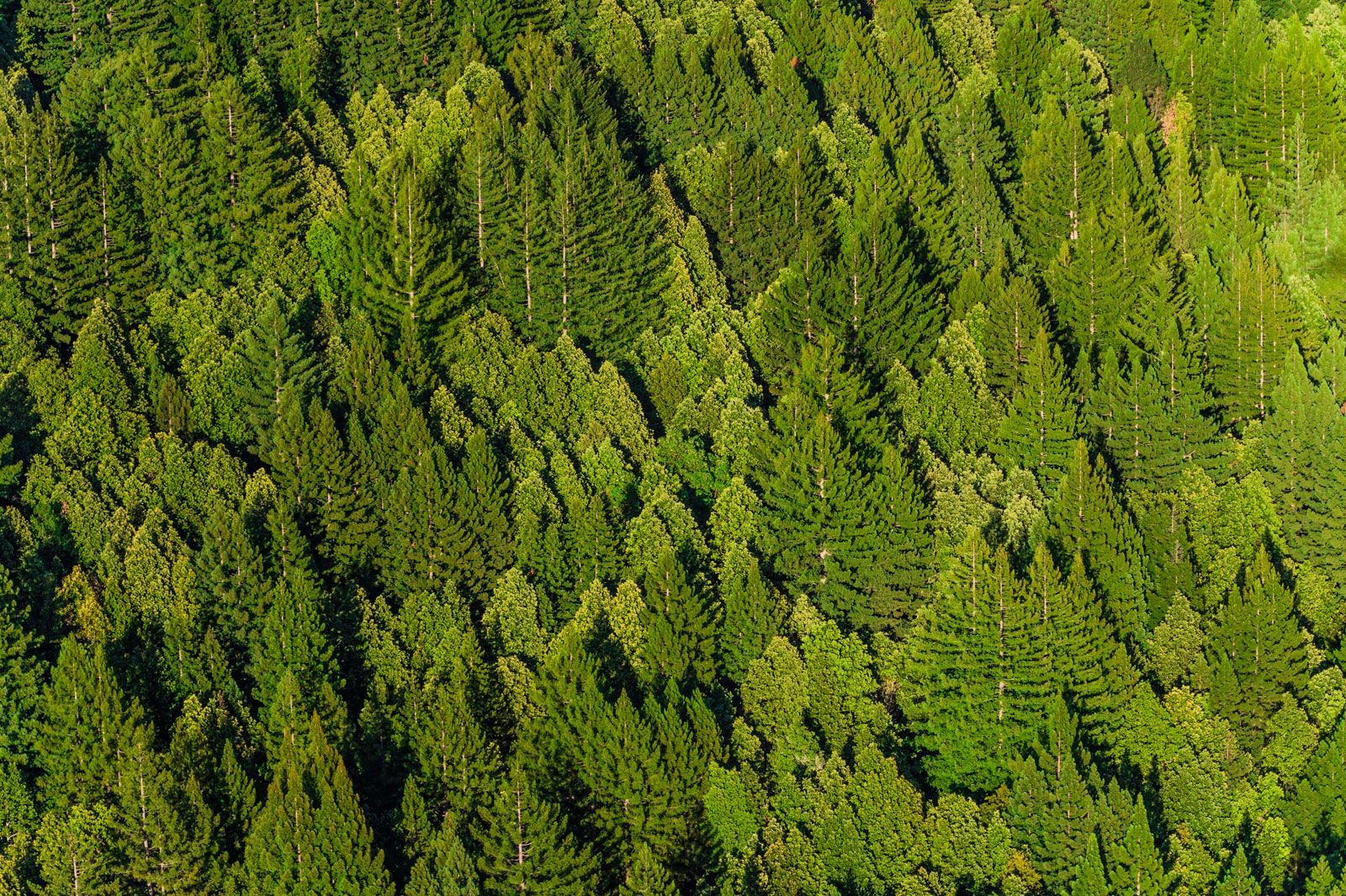 Mixed coniferous forest, Big Basin State Park, Monterey Bay, California, USA