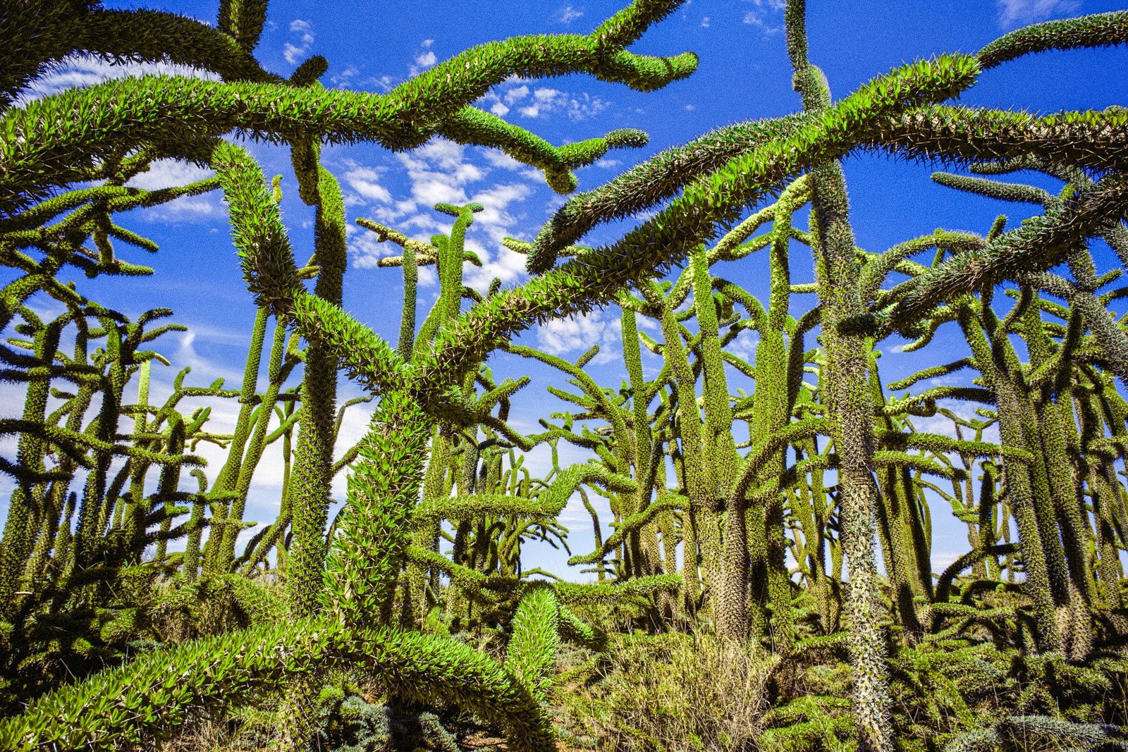 Octopus trees in spiny desert, Southern Madagascar