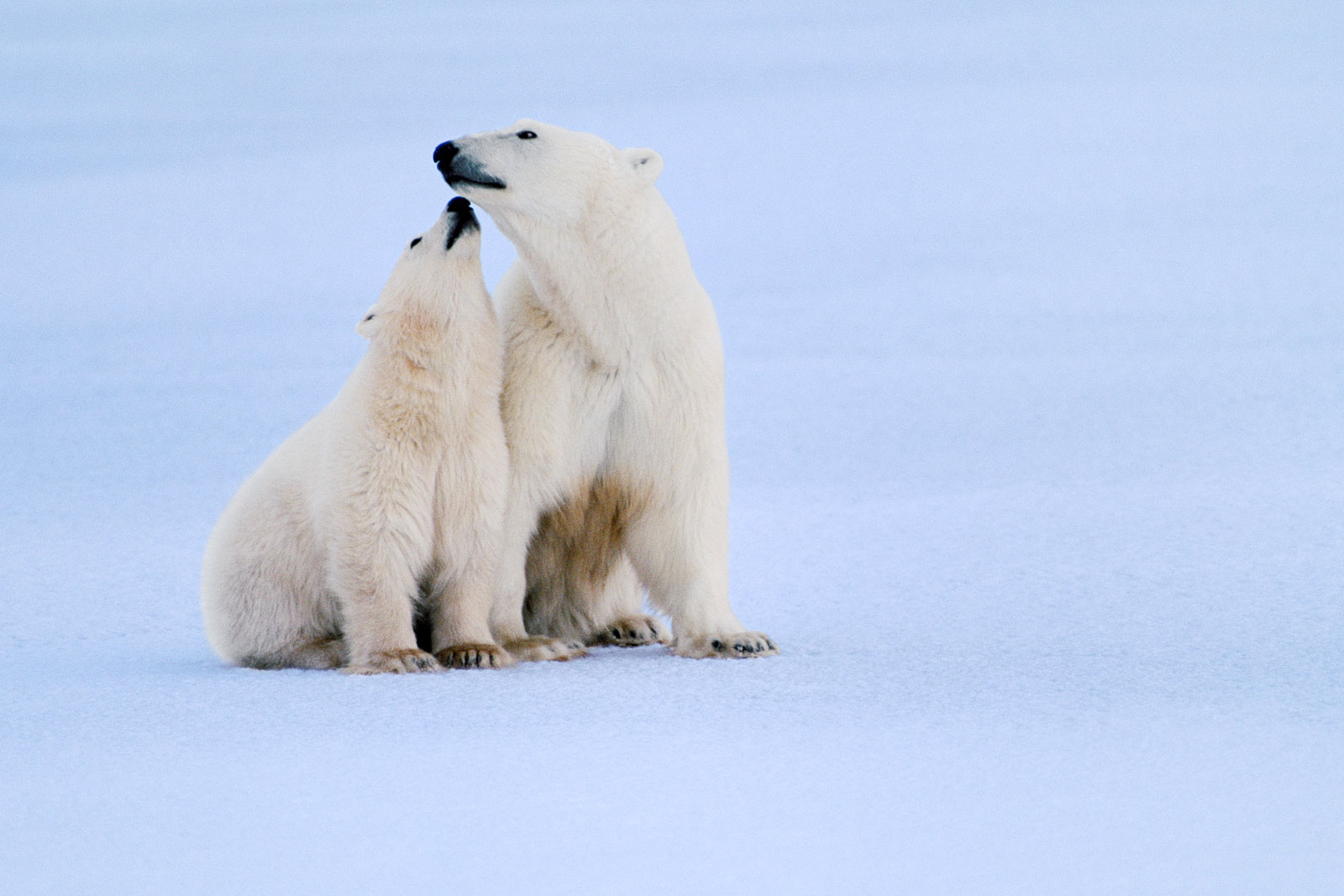 Polar bear mother and cub, Hudson Bay, Canada