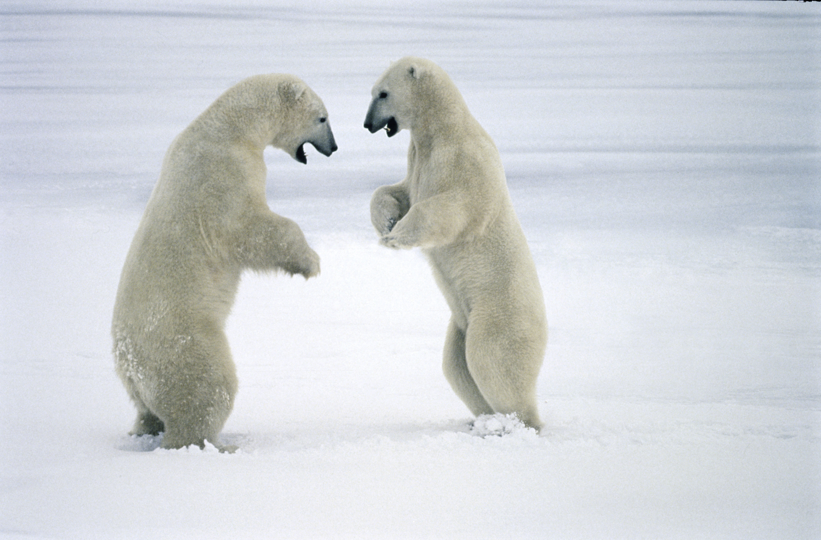 Polar bears sparring, Hudson Bay, Canada