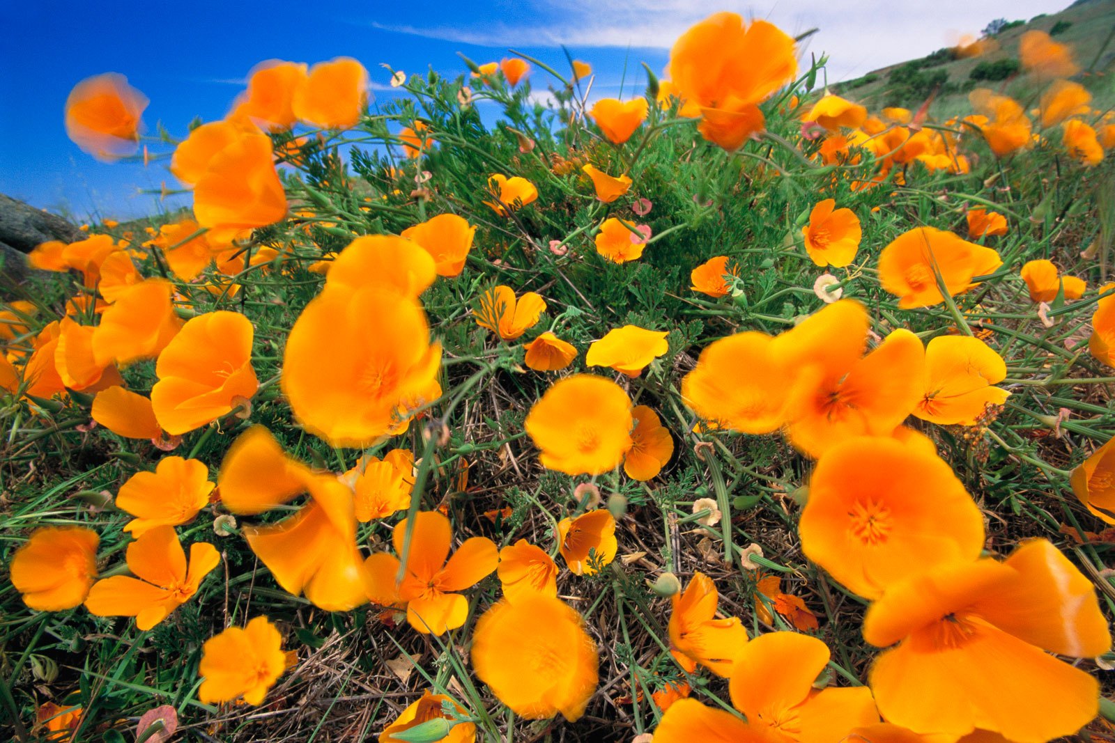 California poppies, Big Sur, California, USA