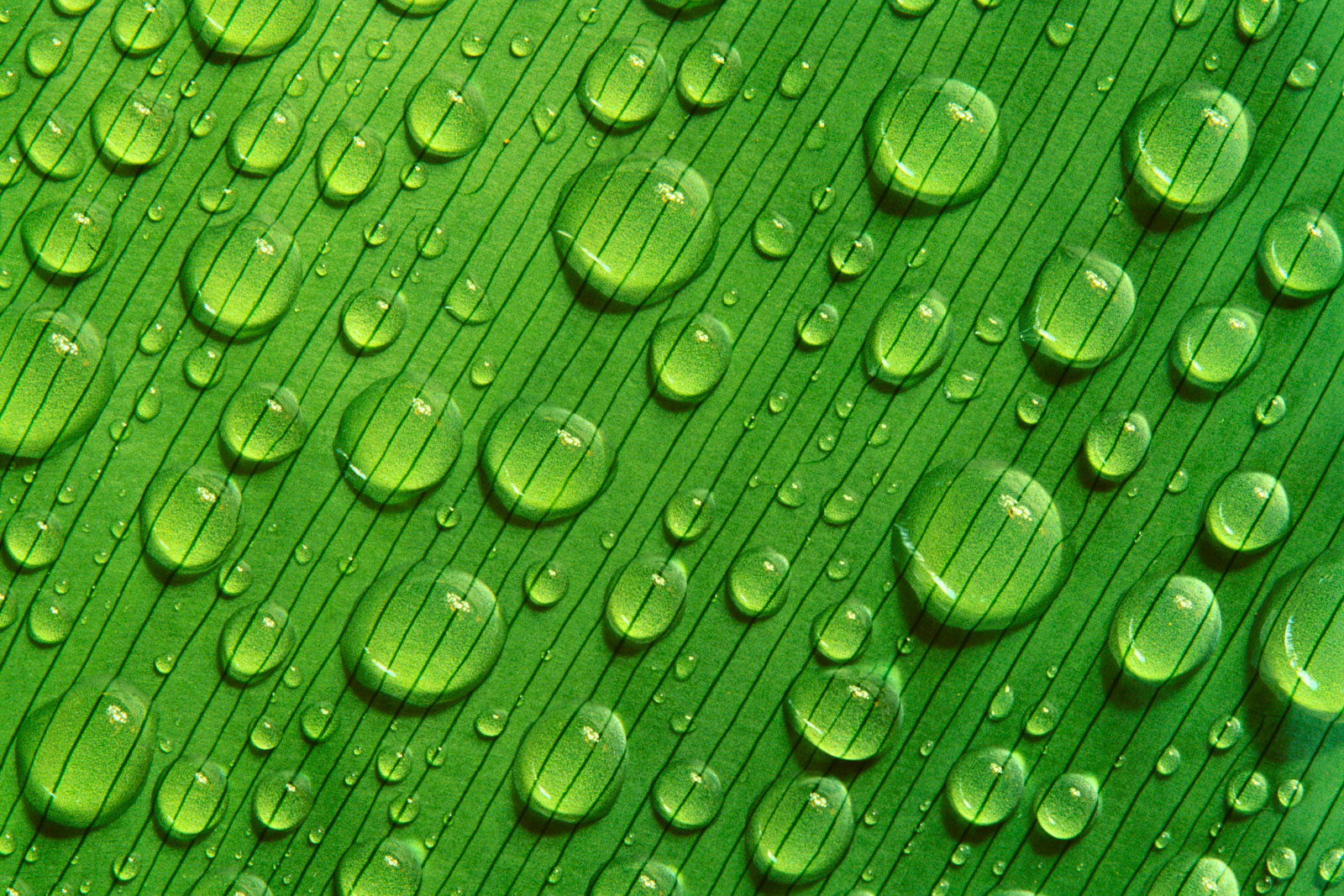Raindrops on Leaf, Peru 1992