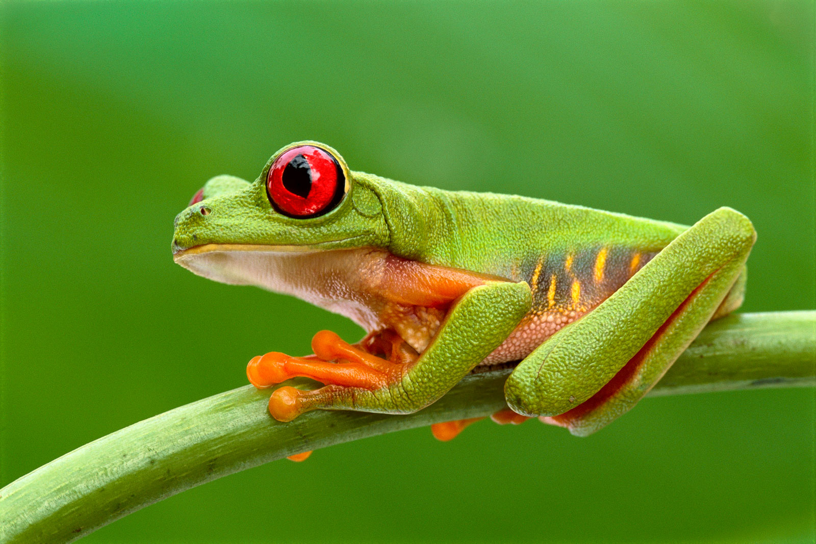 Red-eyed tree frog, Barro Colorado Island, Panama