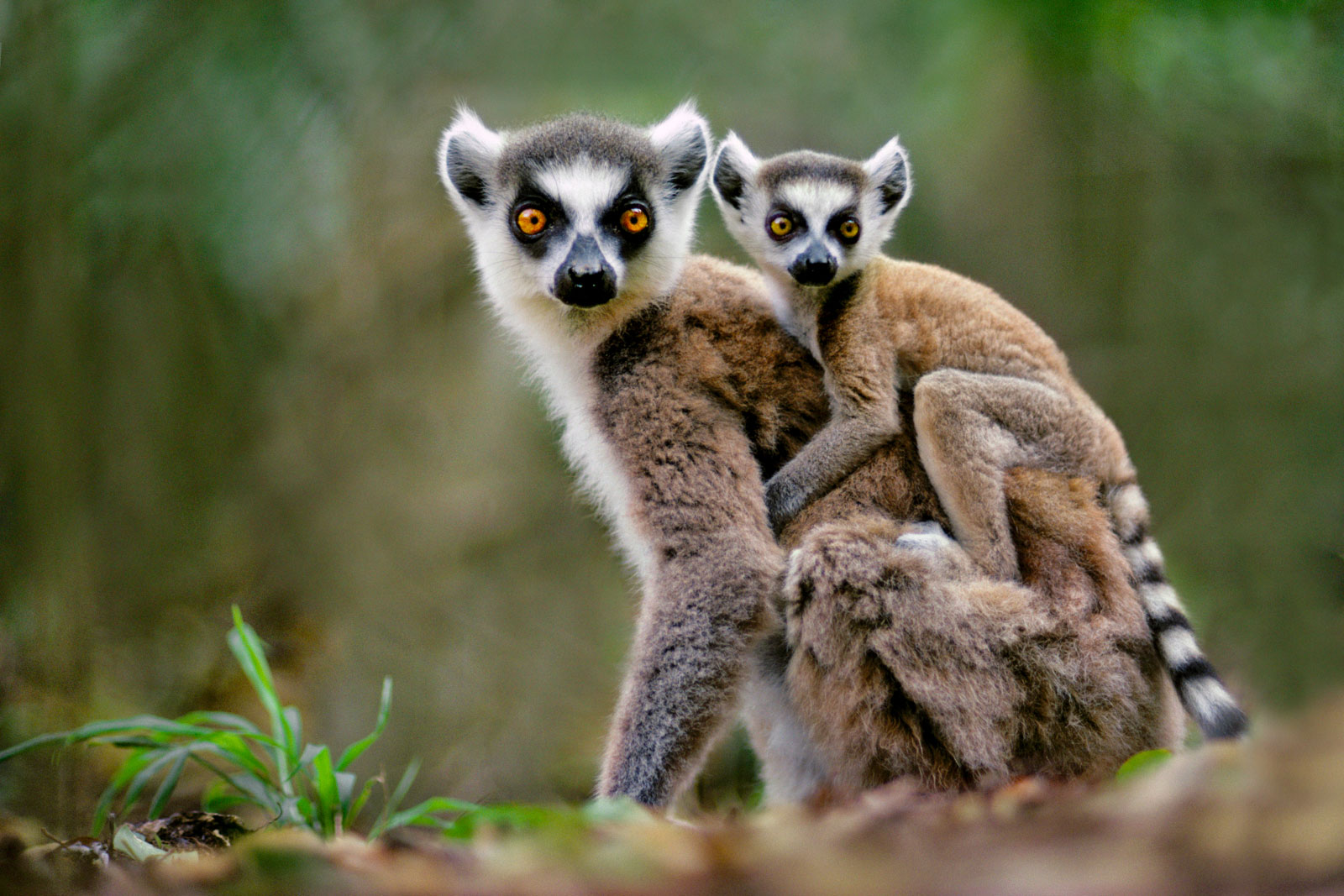 Ring-tailed lemur with baby, Berenty Reserve, Madagascar
