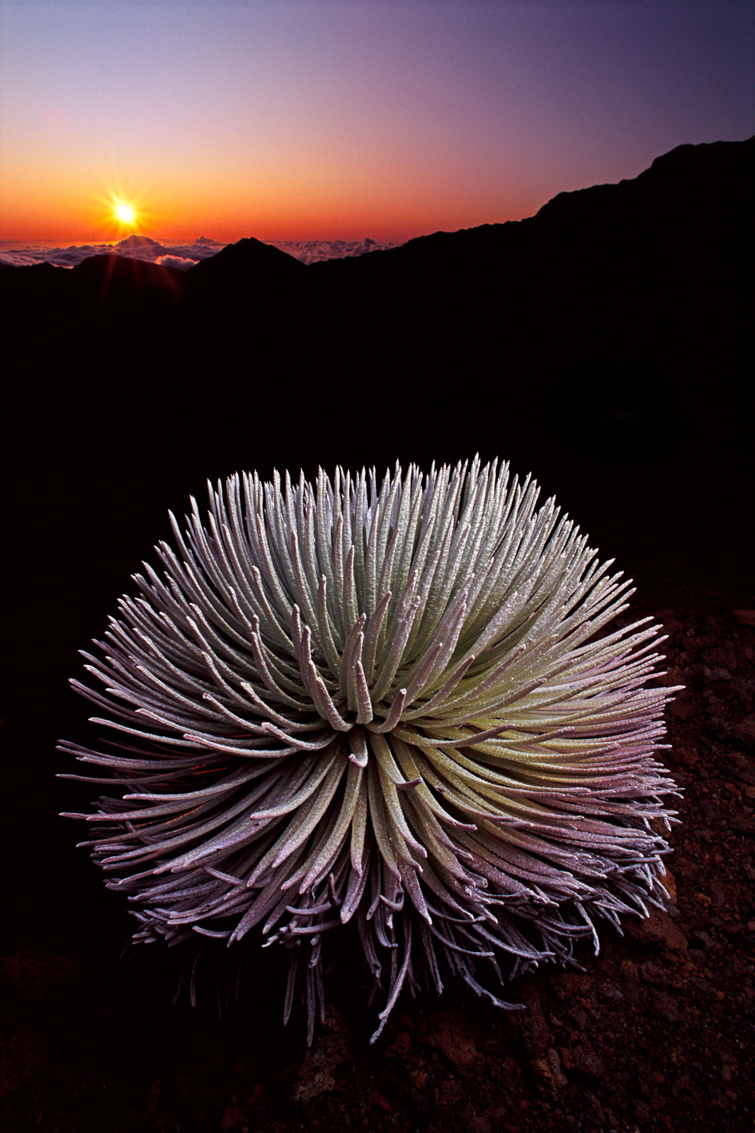 Silversword at sunset, Mauna Kea, Hawaii, USA
